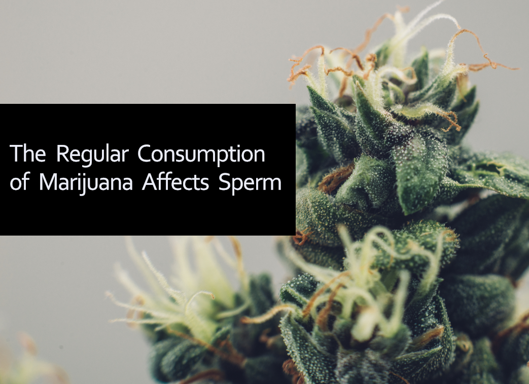 Cannabis and Sperm